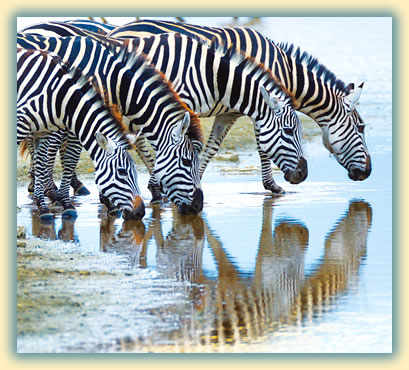 Zebras drinking in Africa: wildlife photography tips.