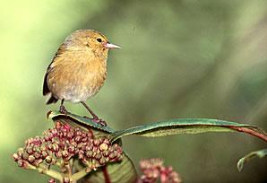 Hawaiian bird pictures.