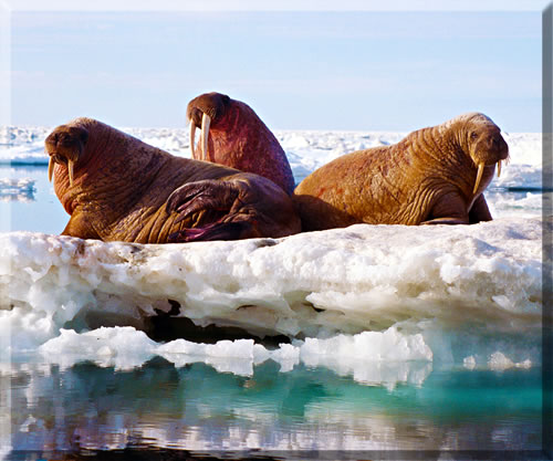 Walrus on sea ice in the Canadian High Arctic.