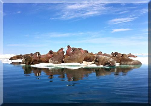A herd of walrus gather on an ice flow in Canada's High Arctic near Igloolik, Nunavut.