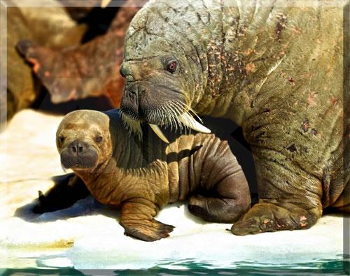 Walrus mother and newborn calf in Canada's High Arctic.