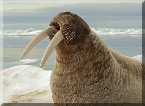 Sensitive walrus whiskers help find food on the High Arctic sea floor.