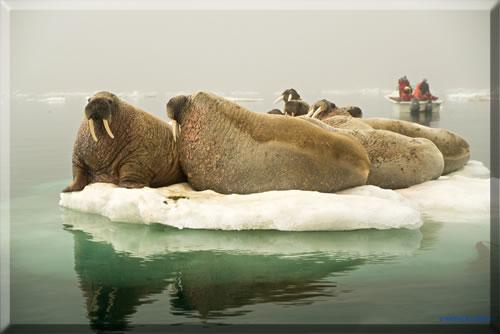 Walruses gather on an ice flow in Canada's High Arctic near Igloolik, Nunavut.