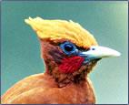 Birds and bird pictures of Trinidad and Tobago.