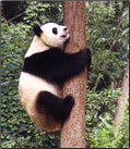 China Panda volunteer vacations article.