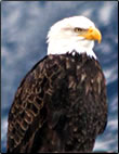 Article about Bald eagle watching on the west coast of Canada.