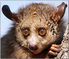 African Bushbaby.