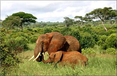 Elephants in Tanzania's Taraangire Park.