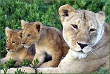 Africa Dream Safaris lion and cubs.