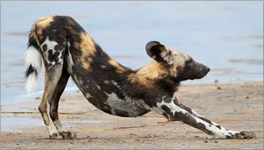 Photo of African wild dog.
