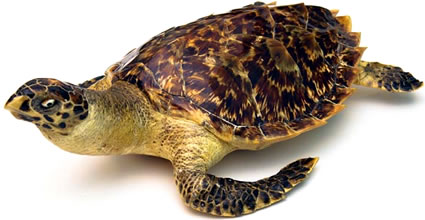 Endangered Hawksbill sea turtle.