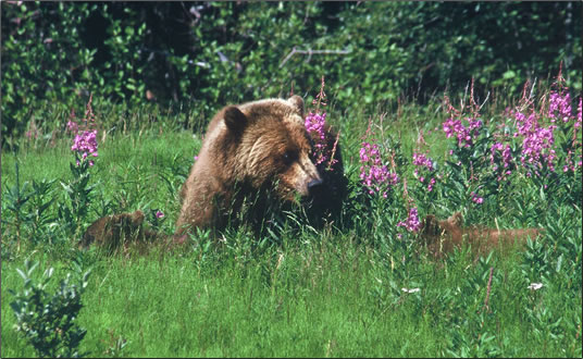 Grizzly mother and two cubs graze in the Spring sunshine.