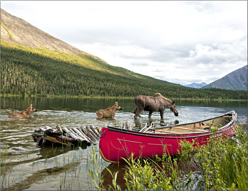 A classic Yukon wilderness scene, with mother moose and two calves plus a red canoe. Peter Mather.