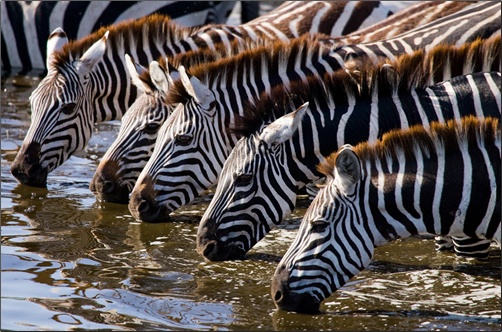 On a Great Migration Safari large herds are spectacular, with numbers over 1.5 million wildebeest and some 300,000 zebras and gazelles.