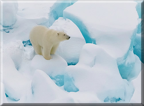 Polar bear spotted on Inside Passage cruise.