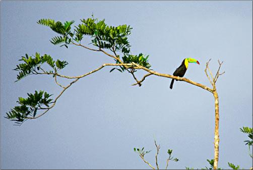 Costa-Rica-Toucan-in-Tree