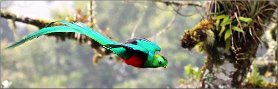Quetzal Bird in Costa Rica.