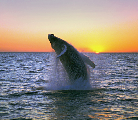 Iceland-Humpback-Whale-Breaching-at-Midnight