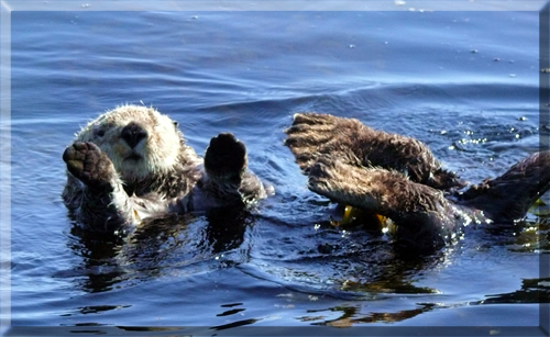 Ucluelet-Sea-Otter