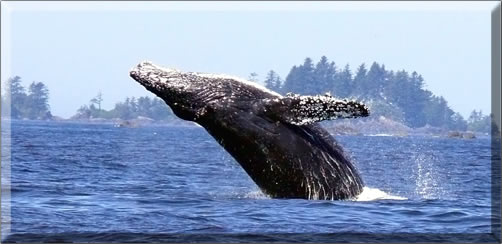 Ucluelet-Whale-Watching