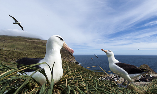 Black-Browed-Albatross-Falkland-Islands