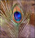 Button-India-Peacocks