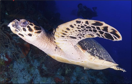 Belize-Hawksbill-Sea-Turtle