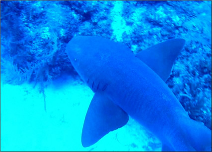 Belize-Nurse-Shark