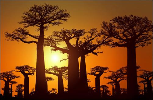 Madagascar-Baobab-Trees