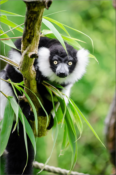 Madagascar-Black-and-White-Ruffed-Lemur
