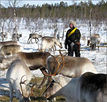 Lapland-Winter-Reindeer
