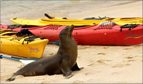 Galapagos-Seal-with-Kayaks
