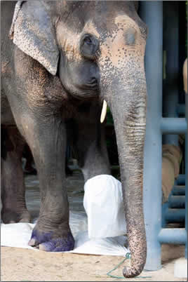 Injured-Asian-Elephant