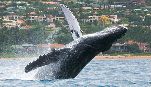 Humpback-Whale-Breaching-Maui